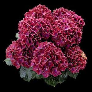 Hortensje Royal Red Blau