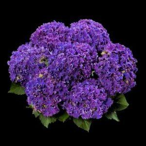 hortensje curly blue
