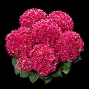 hortensje curly hot pink