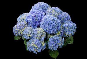 hortensje early blue