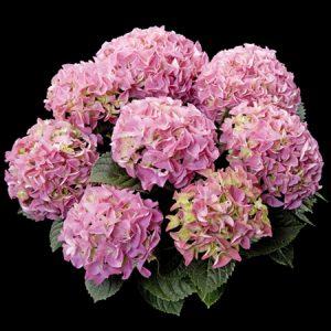 hortensje early rosa