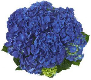 hortensje jip blau