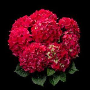 hortensje red beauty