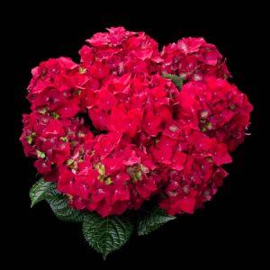 hortensje royal red