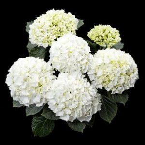 hortensje white delight