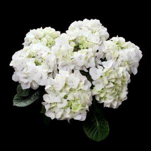 hortensje white spirit