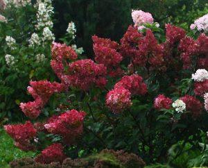 hortensja wims red
